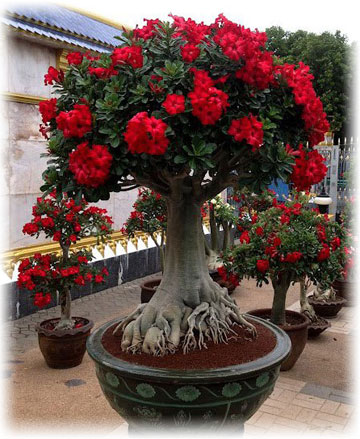 Adenium How To Care For A Desert Rose House Plant Growing Tips