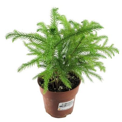 Araucaria (Norfolk Island Pine): Сare, Growing, Reproduction ... on easter lily plant care, tulip plant care, asparagus fern plant care, marble queen plant care, maidenhair fern plant care, dragon tree plant care, confederate rose plant care, flowers plant care, areca palm plant care, chinese evergreen plant care, mango plant care, morning glory plant care, weeping fig plant care, boston fern plant care, jasmine plant care, trumpet vine plant care, boxwood plant care, african violet plant care, creeping fig plant care, paradise palm plant care,