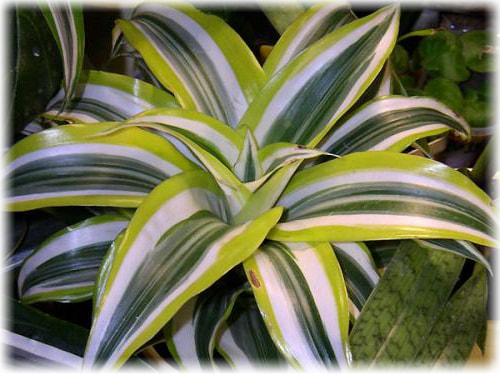 Care for Dracaena