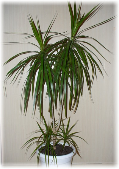 Care For Dracaena House Plants Photos And Methods Of Reproduction