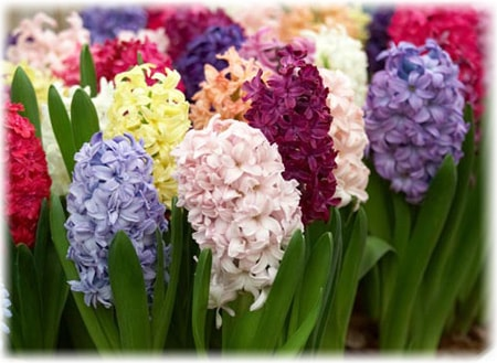 hyacinth flower of the family asparagus it is a perennial plant that can grow in the gardens and greenhouses