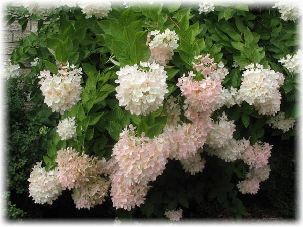 how to to trim hydrangea - When To Trim Hydrangea