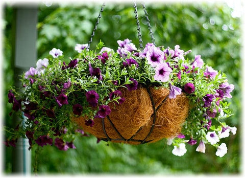 Plants in Hanging Baskets